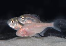 pesci-insonni