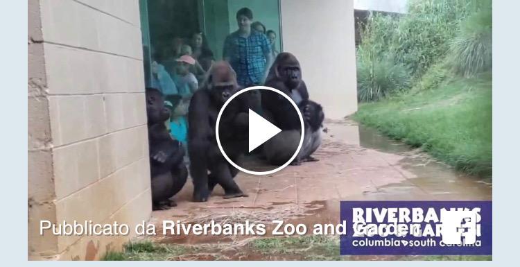 gorilla e la pioggia