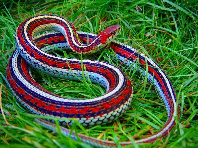 serpenti
