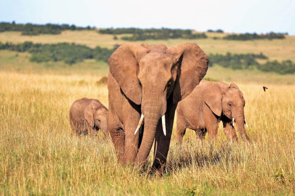 bracconiere calpestato da elefanti