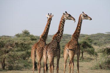 giraffe vivono più a lungo con le amiche